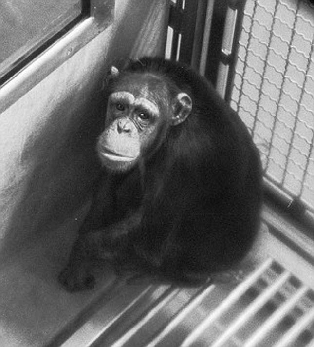 Laboratóriumi csimpánzok