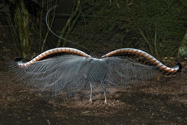 Lantfarkú madár