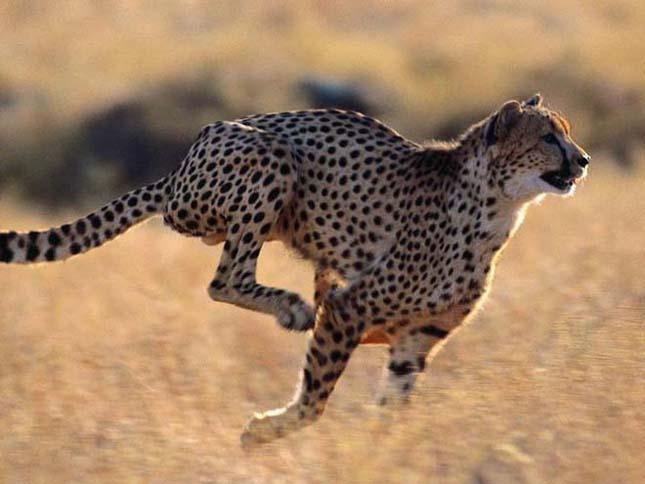 A leggyorsabb emlős rövidtávon -Gepárd