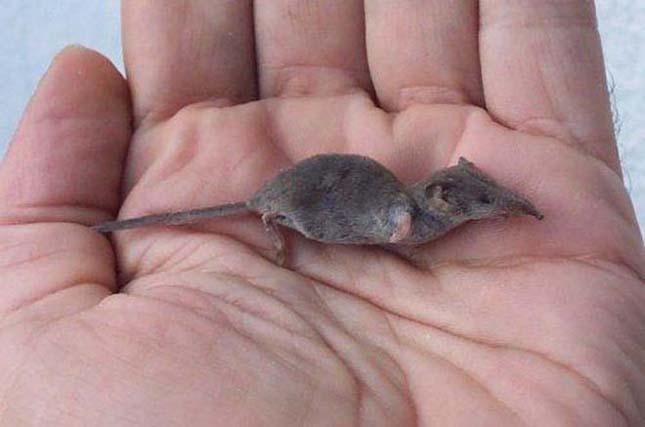 A legkisebb emlős -Etruszk cickány