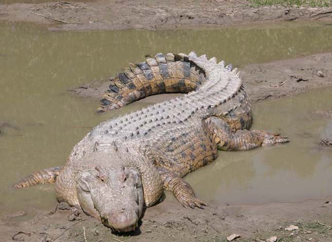 A ma élő legnagyobb hüllő -Bordás krokodil
