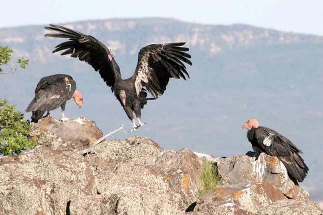 A legritkább madár -Kaliforniai kondor