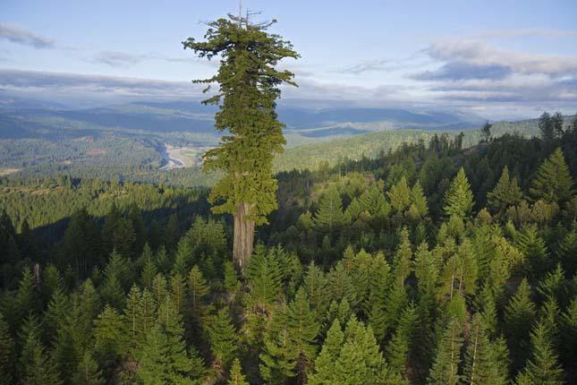 A legmagasabb fák a világon