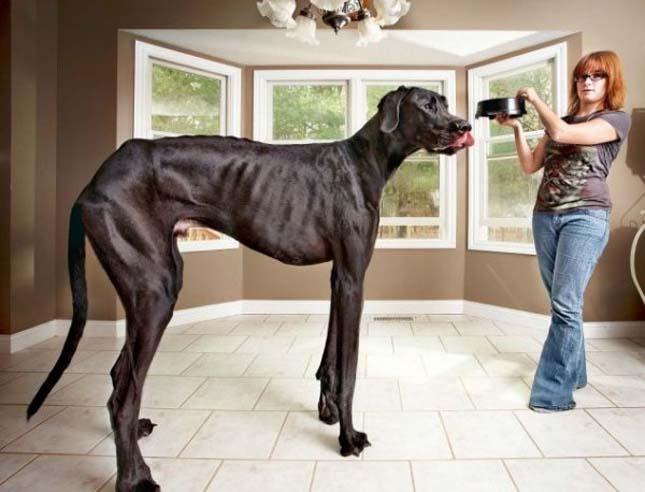 Zeusz, a világ legmagasabb kutyája