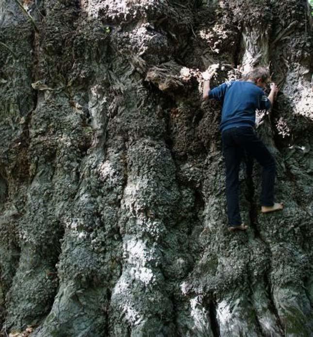 Magyarország legvastagabb fája