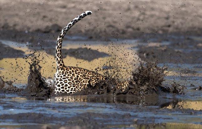 Leopárd halászik