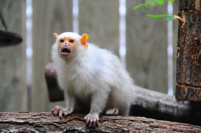 Majmokat loptak el egy francia állatkertből