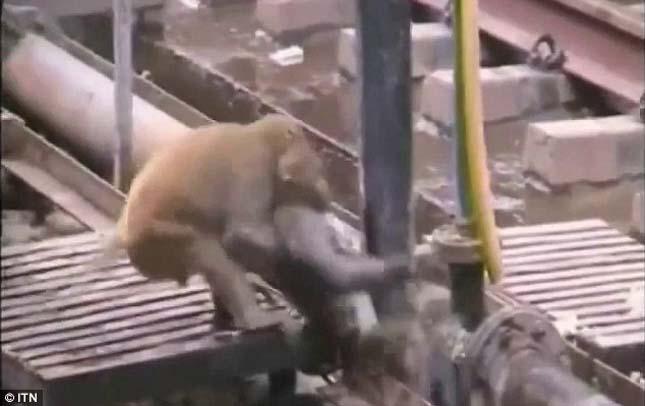 Megmentte a társát a majom