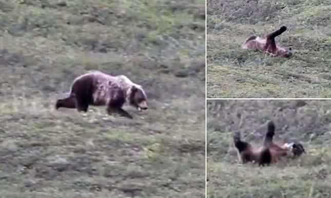 Domboldalról gurult le a medve