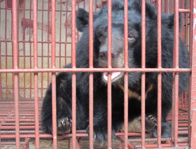 medve epe felállítása)