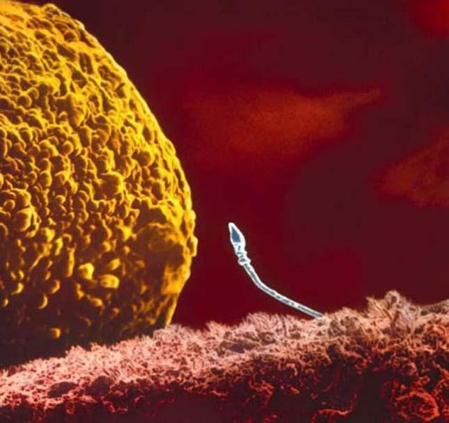 Makrófotók a megtermékenyítésről és a magzatról