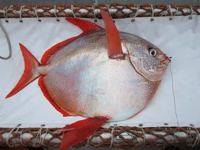 Melegvérű hal