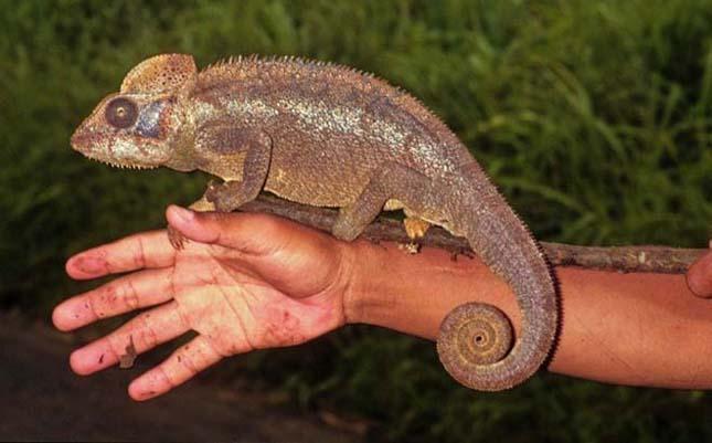 A világ legkisebb kameleonja