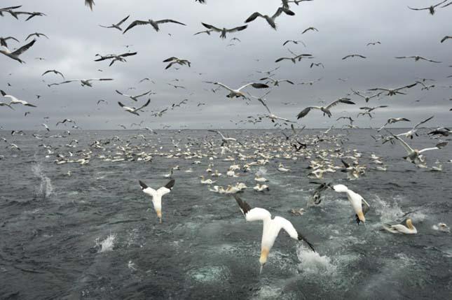 Szula halászata