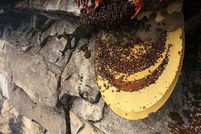 Nepáli mézvadászok