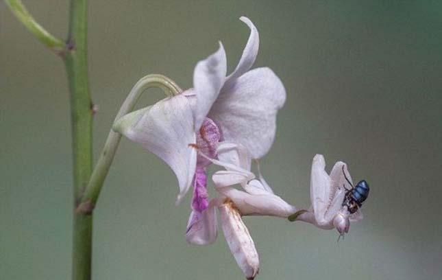 Orchidea manó