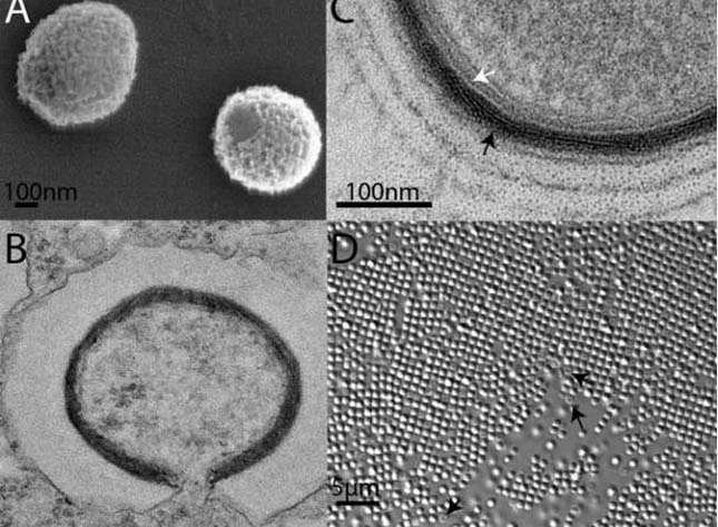 Őskőkori óriásvírus