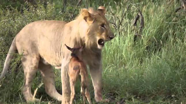 A borjú és az oroszlán
