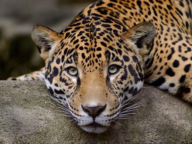 Zambia betiltja az oroszlánok és leopárdok vadászatát