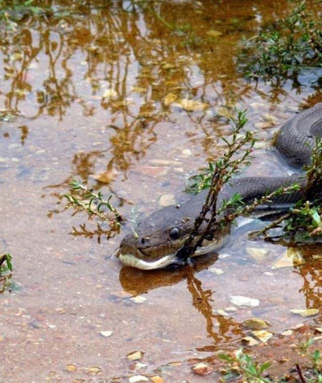 Krokodil és kígyó harca