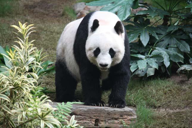 Pandatámadás