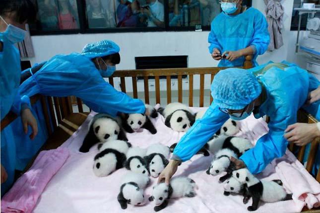Pandaovi