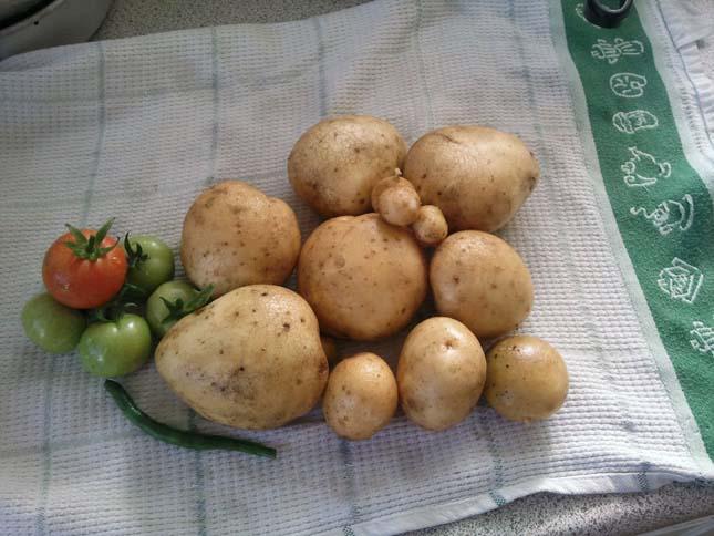 Paradicsom és krumpli egy növényen