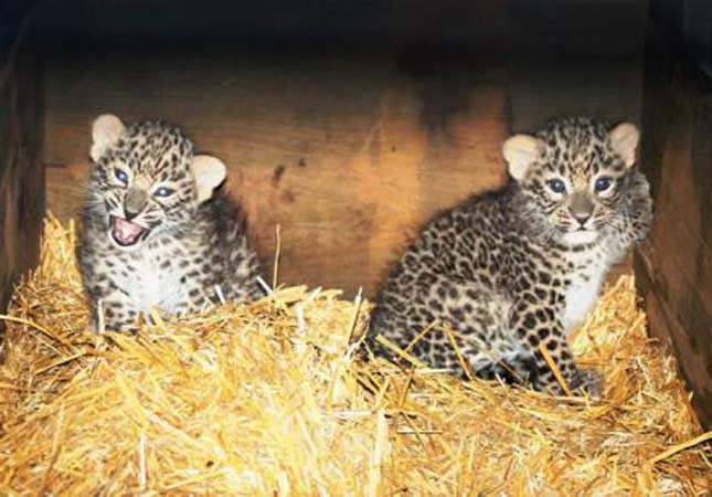 Perzsa leopárd kölykök