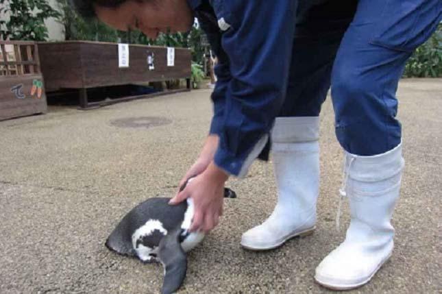Sakura pingvin