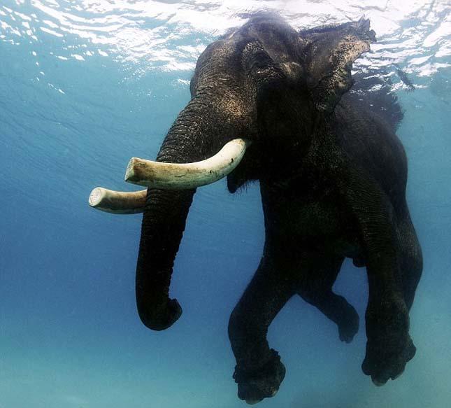 Rajan elefánt