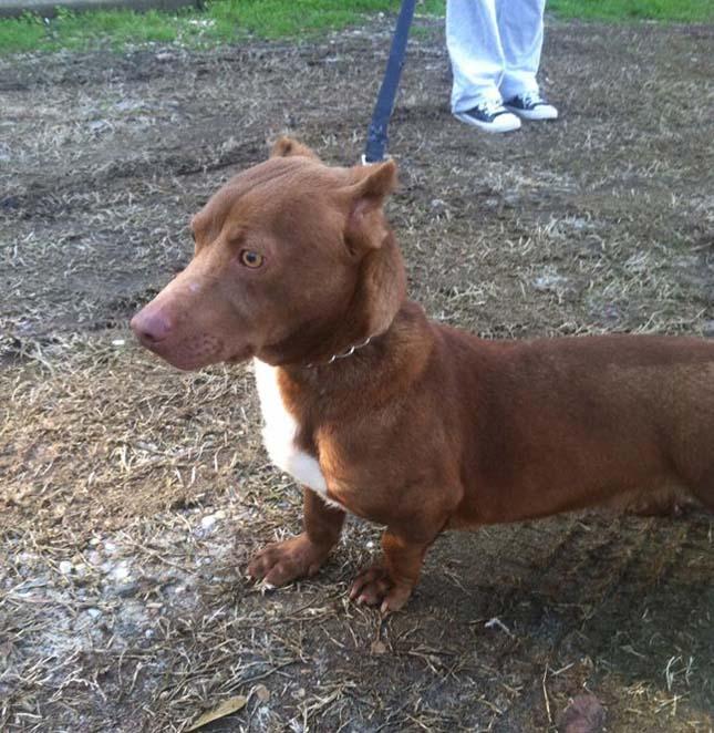 Rami, a pitbull-tacskó keverék kutya