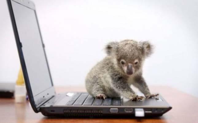 Raymond, az aprócska koala