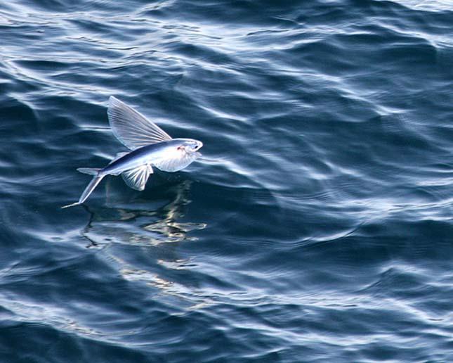Repülő halak