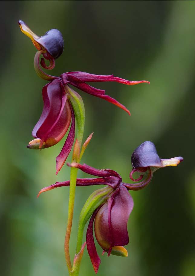 Repülő kacsa orchidea