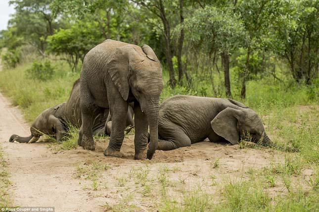 Részeg elefántok