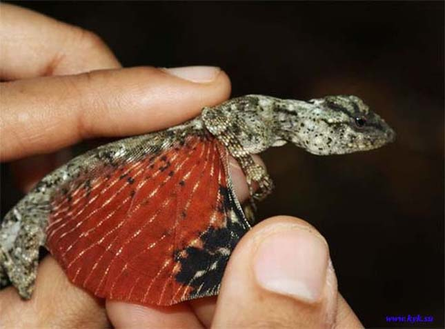 Mini sárkányok Indonéziában