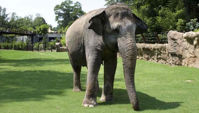 Shanti, a szájharmonikázó elefánt
