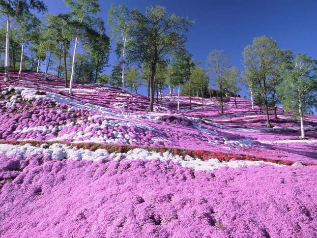 Shibazakura virágzás