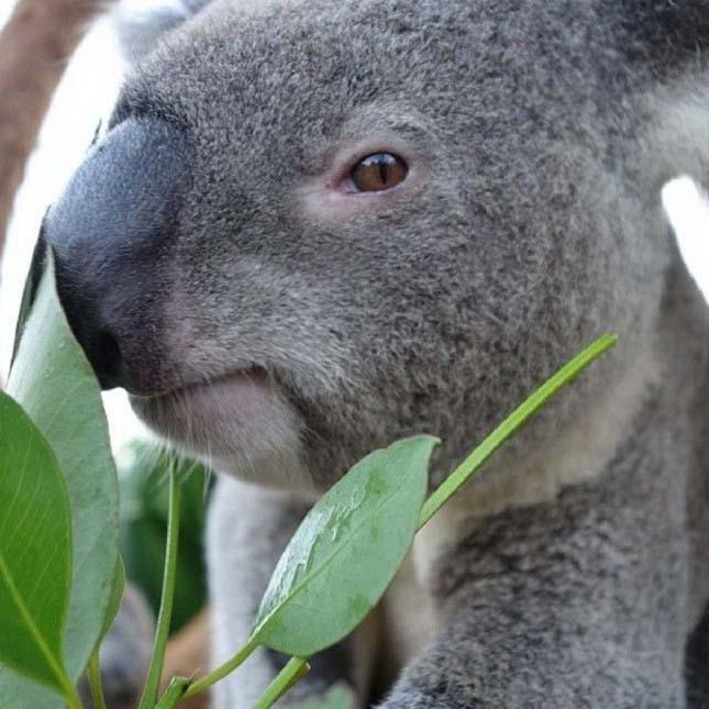 Sydney Állatkert koalák