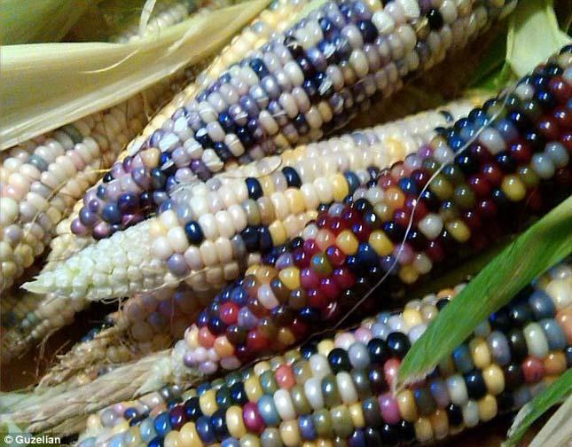 Színes kukorica