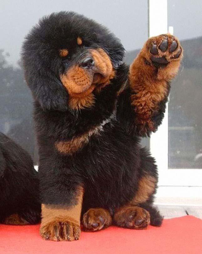 Szőrmók kutyák