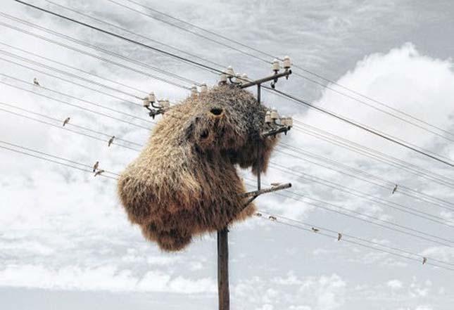 Telepes szövőmadrak hatalmas fészkei