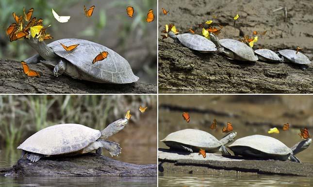 Teknőskönnyeket isznak a pillangók