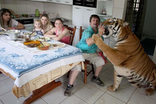 Tigrisekkel él együtt egy brazil család