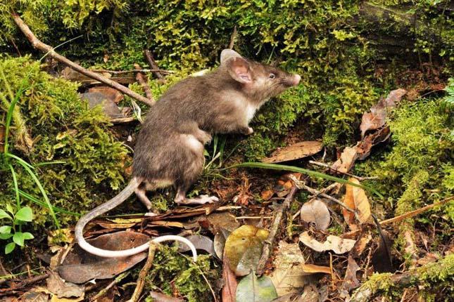 Új patkányfaj