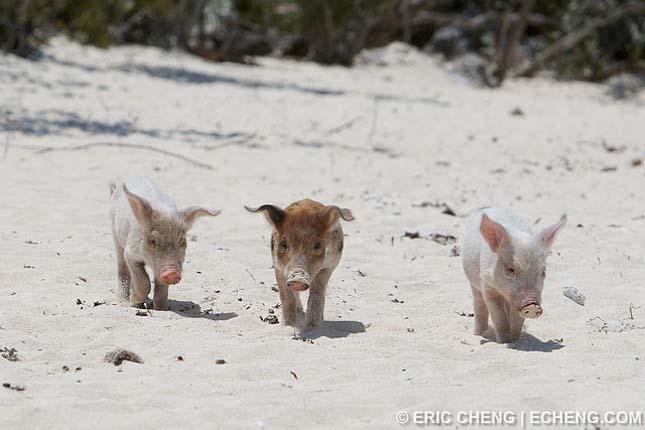 Úszó malacok a Bahamákon