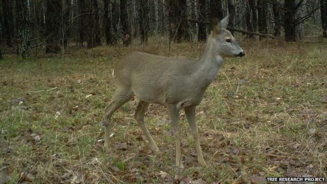 Visszatértek az állatok Csernobilbe