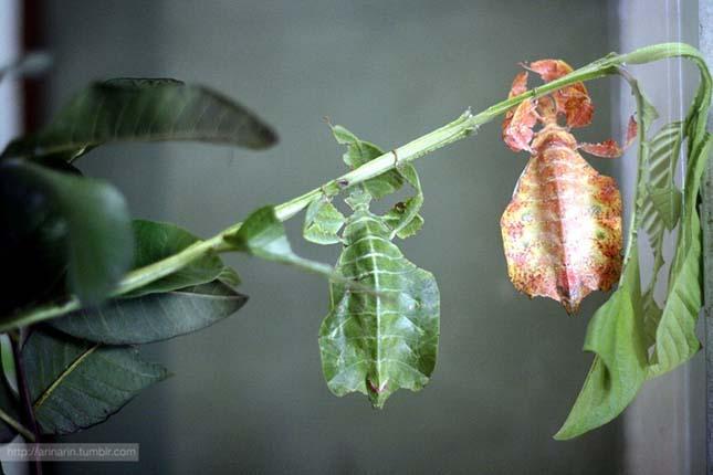 Vándorló levelek