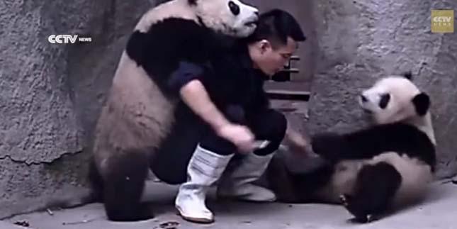 Pandák, akik nem akarják bevenni a gyógyszert