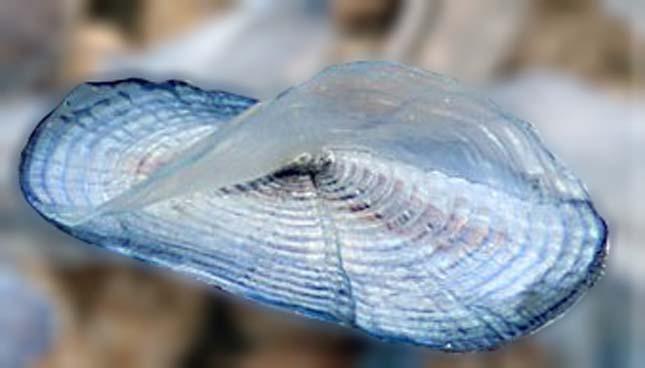 Vitorlás medúza